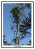 Lierre fleuri sur un arbre mort ( Mattamuskeet NWR )