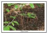 Épines d'épinette sur les branches de feuillus ( Nags Head Woods )