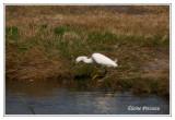 Aigrette neigeuse - Egretta thula ( Pea island NWR )