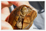 Tortue bourbeuse des marais - Kinosternon subrubrum ( Mattamuskeet NWR )