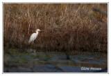 Héron garde-boeufs - Bubulcus ibis ( Chincoteaque NWR )