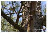 Sittelle à tête brune - Sitta pusilla ( Chincoteaque NWR )