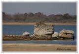 Nid de Balbuzard pêcheur - Pandion haliaetus