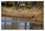 Sika Elk - Cervus nippon nippon ( Chincoteaque NWR )