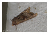 8397 - Palthis angulalis - Arlequin de l'épinette