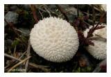 Lycoperdon marginatum - Vesse-de-loup marginée