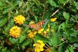 Torrey Pines butterfly.JPG