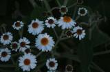 White Daisy types.JPG