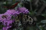 Rice Paper Butterfly.JPG