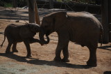 SD Wild Animal Park - Two youngsters just having some fun.JPG