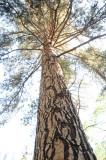 Ponderosa Pine.JPG