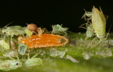 Aphidoletes_larva.jpg