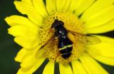 Dasysyrphus-tricinctus.jpg