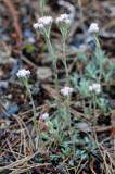 Antennaria-dioica.jpg
