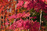 Sorbus-aucuparia.jpg