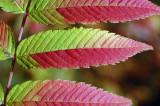 Sorbaria-sorbifolia.jpg
