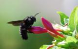 Xylocopa-violacea.jpg