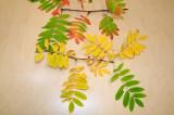 Sorbus-aucuparia-colours.jpg