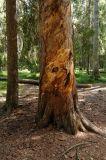 Giant_Pine.jpg