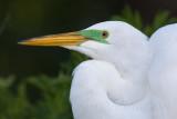 40d-6014c  - Great Egret