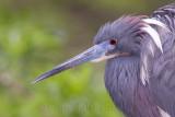 40d-6132 - Tricolor Heron