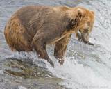 85957 - Bear catching salmon