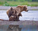 88057 - Sow with 4 cubs