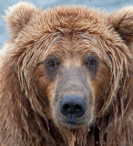 40-12014 - Grizzly  head shot