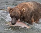40-12494 - Bear catching salmon