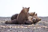 88516 - Playful Cubs