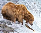 87532 - Bear catching salmon