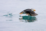 88825 - Horned Puffin taking flight