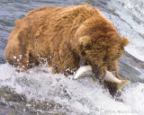 87499  - Bear catching salmon