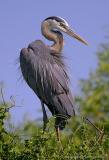 31543Rc = Great Blue Heron