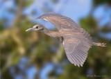 31635  Night Heron juvenile