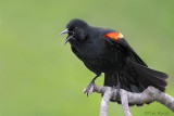 09369 - Red Wing Blackbird