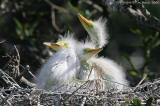 11815  = Great Egret chicks