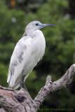 09425c - Little Blue Heron (juvenile white phase)