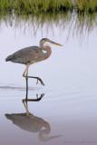 30426c - Great Blue Heron