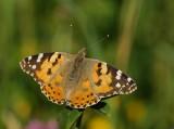 Papillons d'Europe-European Butterfly