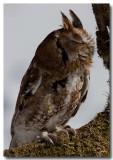 Eastern screech owl eyes closed