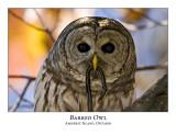 Barred Owl-003