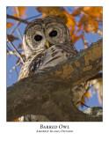 Barred Owl-007