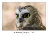 Northern Saw-whet Owl-005