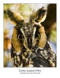 Long-eared Owl-003