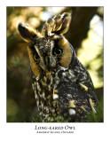 Long-eared Owl-005