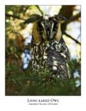Long-eared Owl-007