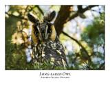 Long-eared Owl-008