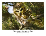 Northern Saw-whet Owl-009