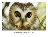 Northern Saw-Whet Owl-007
